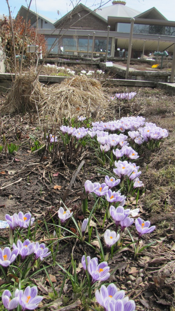 Crocus' in Bloom - April 2013